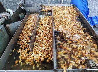 long8国际官方网站滑子蘑生产过程